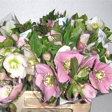 Hellebores Queens Light Pink