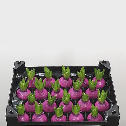 Hyacinth Bulbs - Waxed Fuchsia
