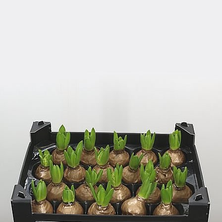 Hyacinth Bulbs - Waxed Gold