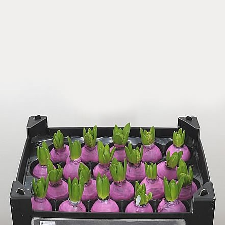Hyacinth Bulbs - Waxed Pink
