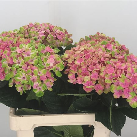 Hydrangea Coral Pink Green