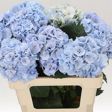 Hydrangea Lolly Pop Blue