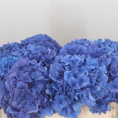 Hydrangea Royal Navy Blue