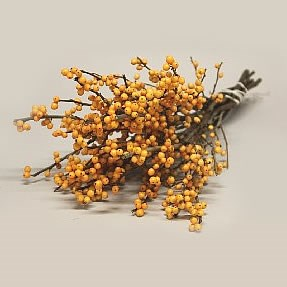 ILEX GOLDEN VERBOOM (BQT GRADE)