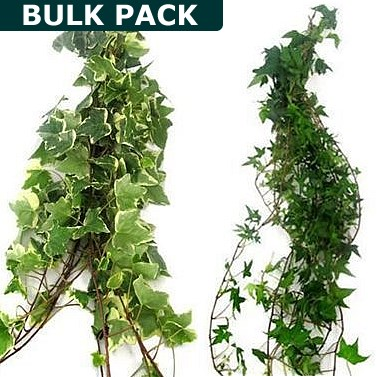 Ivy Trails Variegated/Green Mix 90cm