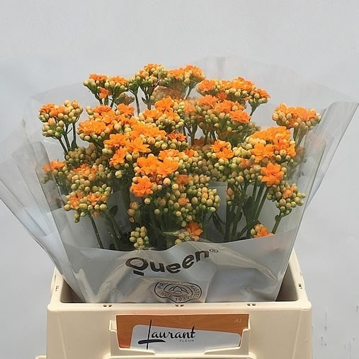 KALANCHOE WARM ORANGE MEADOW