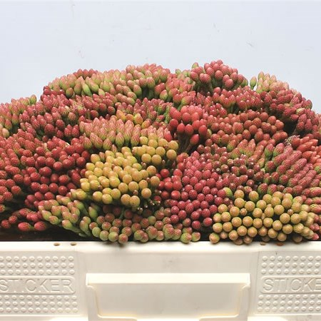 Kaaps Brunia Red Medium