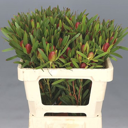 LEUCADENDRON CHERRY PEARL (SPRAY)