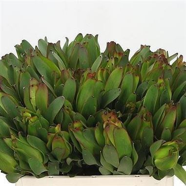 LEUCADENDRON LAUREL YELLOW