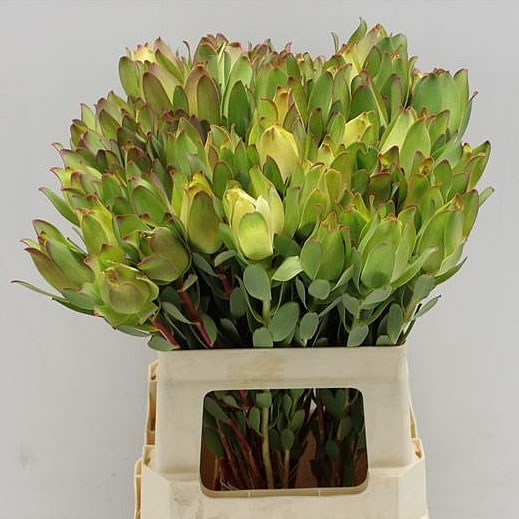 LEUCADENDRON MOUNTAIN ROSE