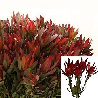 leucadendron wholesale flowers uk wedding flowers triangle nursery. Black Bedroom Furniture Sets. Home Design Ideas