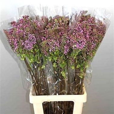 LILACS DARK KOSTER - 2HDS