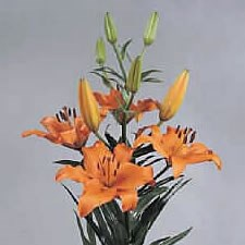 LILY ASIATIC BRUNELLO