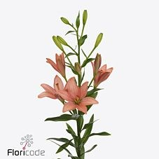 LILY ASIATIC PINK COCOTTE