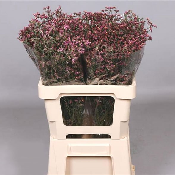 LIMONIUM CHINA RED