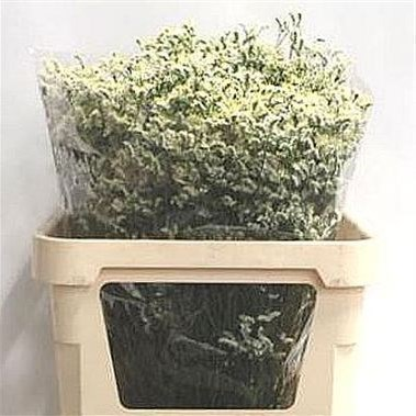 LIMONIUM CHINA WHITE