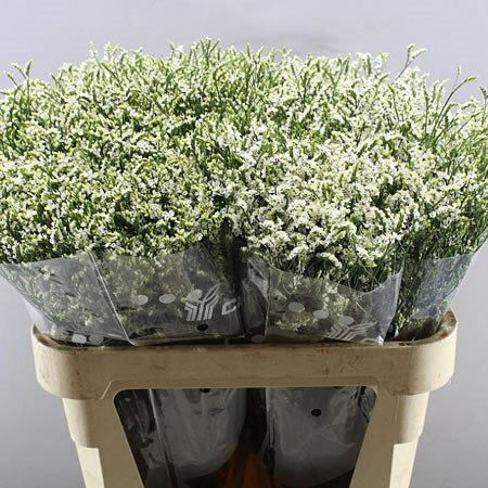 LIMONIUM COOL DIAMOND