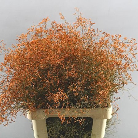 LIMONIUM DYED ORANGE