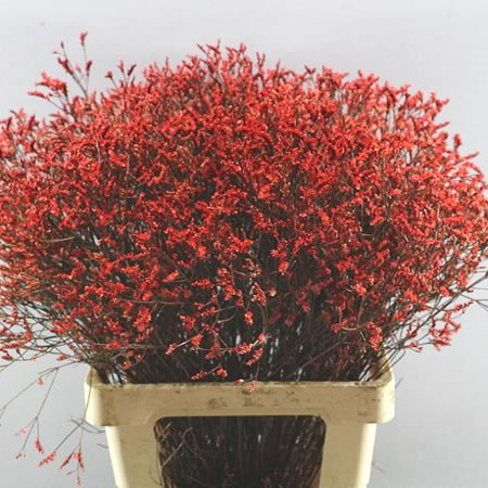 LIMONIUM DYED RED