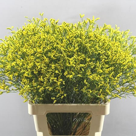 LIMONIUM DYED YELLOW