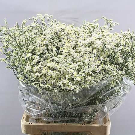 LIMONIUM MOUNTAIN DIAMOND