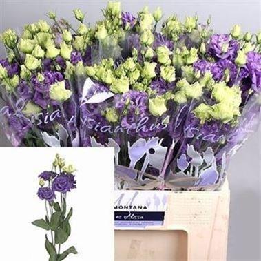Wholesale Eustoma Lisianthus Guide Wedding Flower Guides Uk