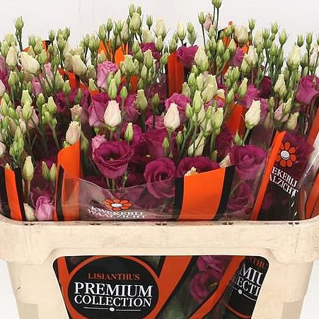 EUSTOMA LISIANTHUS DBL. ROSI RED