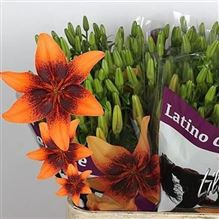 Lily Asiatic Lat Orange