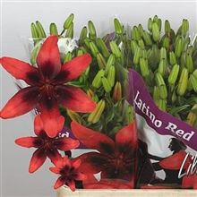 Lily Asiatic Lat Red