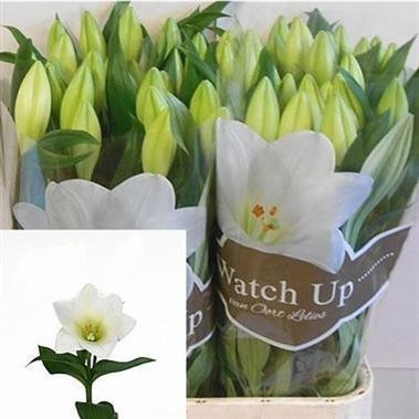 Lily Longi  Watch Up (1 Bud/Stem)