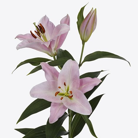 buy lily oriental wholesale flowers online wedding flowers