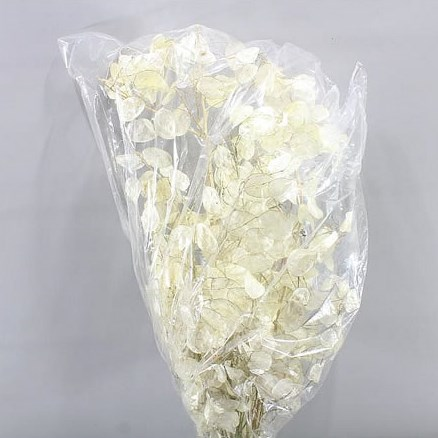Lunaria (Honesty) Preserved & Bleached