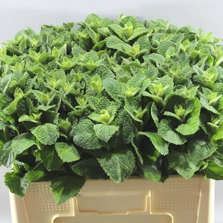 MENTHA LEAVES (MINT)