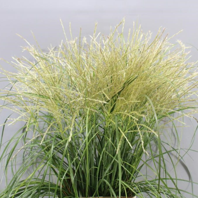 MISCANTHUS SIN WHITE CLOUD