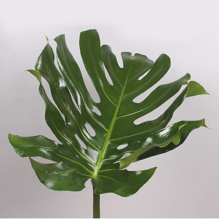 MONSTERA LEAVES EX LARGE 80CM