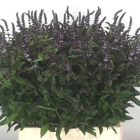 Mentha Dark Sensation