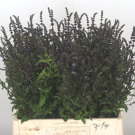 Mentha Purple Sensation