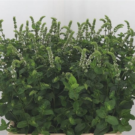 Mentha White Juliet
