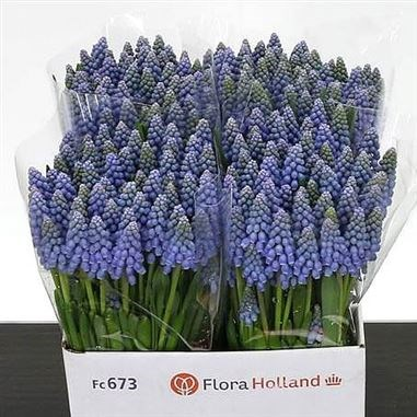 Muscari blue dream