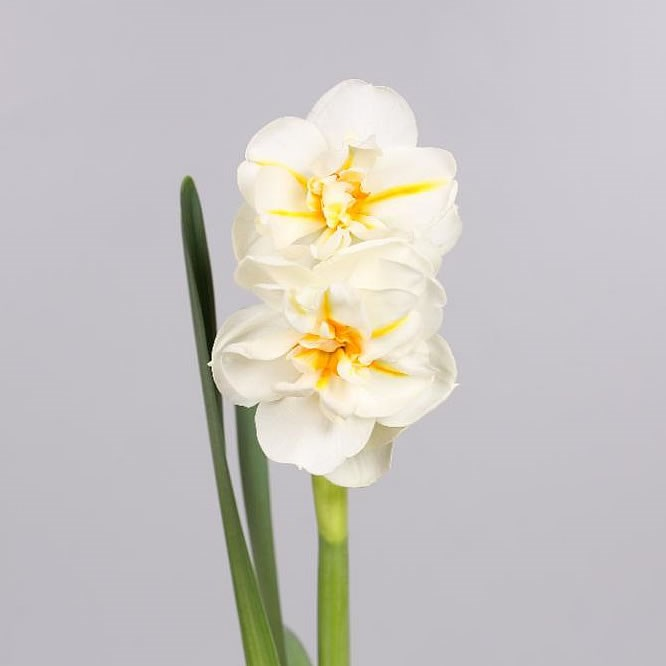 NARCISSUS SIR WINSTON CHURCHHILL