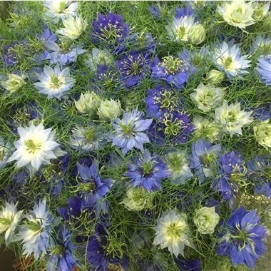 NIGELLA DAMASCENA BLUE