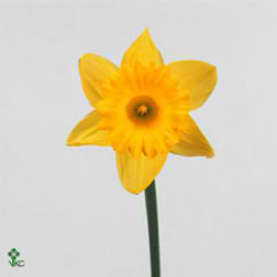 Narcissus - trumpet dutch master