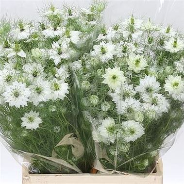 Nigella Damascena White