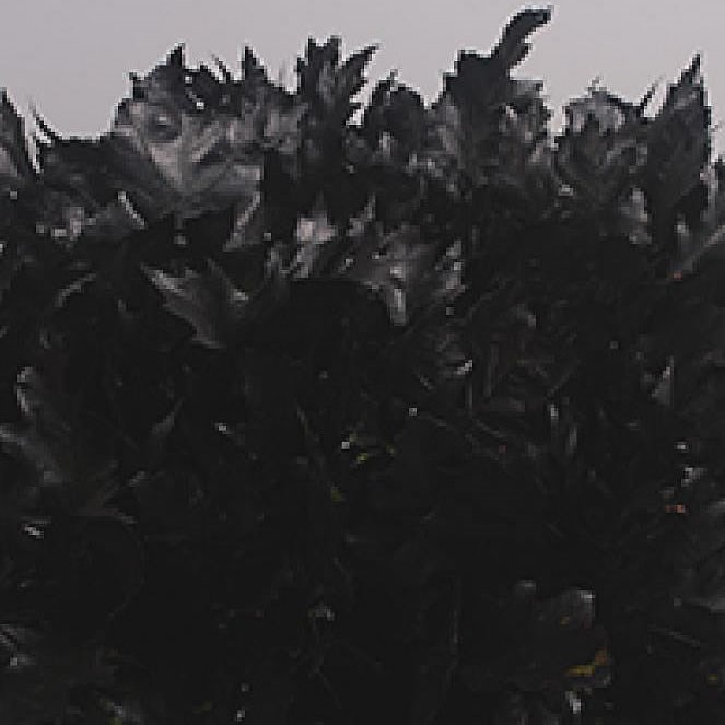 OAK LEAVES DYED BLACK