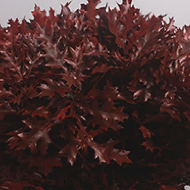 OAK LEAVES DYED RED (SMALL)