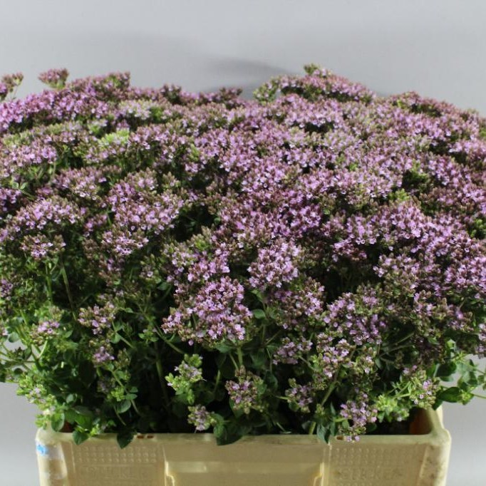 ORIGANUM CHARM PURPLE