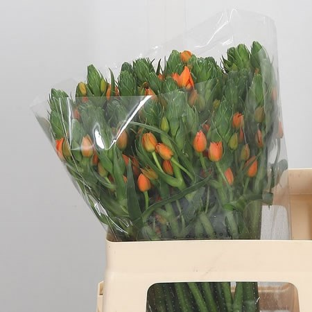 ORNITHOGALUM DUBIUM ORANGE FIRE