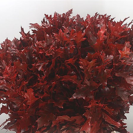Oak Leaves Dyed Red