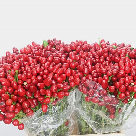 Ornamental Peppers Red Candy