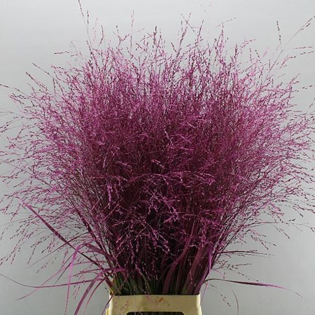 PANICUM WARRIOR GRASS DYED CERISE